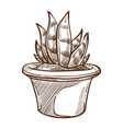 aloe indoor plant in pot isolated sketch home vector image