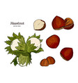 hazelnut nut seed vector image vector image