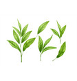 set realistic green tea leaves and sprouts vector image