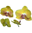 yellow orchid flowers isolated on white vector image vector image