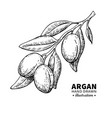 argan drawing isolated vintage vector image vector image