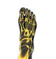 bones the of foot vector image