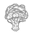 broccoli sketch engraving vector image