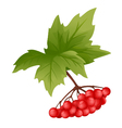 Branch of Viburnum vector image vector image