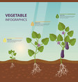 eggplant or brinjal aubergine infographic vector image