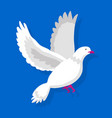 Flying white pigeon isolated on blue background