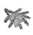 hand drawn spruce tree branch vector image