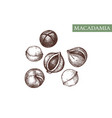 macadamia hand drawn healthy food drawing vector image