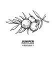 Juniper drawing isolated vintage