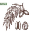 pecan hand drawn food drawing nut trees vector image