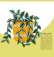 tradescantia plant in pot banner vector image vector image