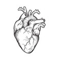 human heart anatomically correct hand drawn vector image vector image