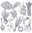 set of hand drawn farm vegetables and herbs vector image