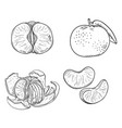 set sketch tangerines whole peeled and sliced vector image vector image