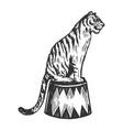 circus tiger animal engraving vector image vector image