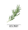 rosemary herb and spice vector image vector image