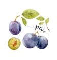 watercolor hand drawn plum vector image