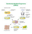 genetically modified organisms vector image vector image