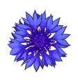 open cornflower blossom top view sketch style vector image vector image