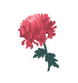 tender blossom japanese chrysanthemum with stem vector image vector image
