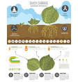 cabbage beneficial features graphic template vector image vector image