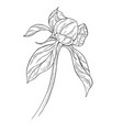 peony bud ink sketch on white background vector image vector image