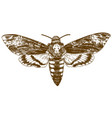 engraving drawing of african death-head hawkmoth vector image vector image