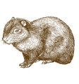 engraving drawing of common agouti or sereque vector image vector image
