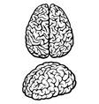 brain vector image vector image