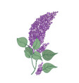 lilac branch with gorgeous purple flowers and vector image