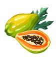 papaya isolated on white background vector image vector image