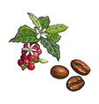 coffee tree branch fried beans vector image
