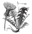 Dandelion vintage engraving vector | Price: 1 Credit (USD $1)