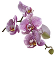 Realistic of orchid or phalaenopsis vector image vector image