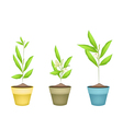 Beautiful Ylang Ylang Flowers in Terracotta Pots vector image vector image