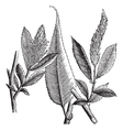 Shining Willow vintage engraving vector image vector image