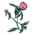 Hand-drawing peonies graphic flowers vector image