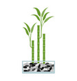 lucky bamboo in glass pot vector image vector image