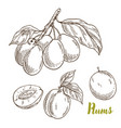 plums branch with leaves hand drawn vector image vector image