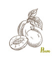 plums hand drawn sketch vector image
