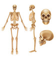 human skeleton realistic front view bones and vector image