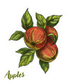 three apples on branch with leaves vector image