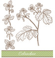 celandine in hand drawn style vector image vector image