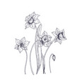 blooming tender narcissus flowers isolated vector image