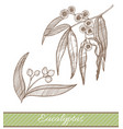 eucalyptus in hand drawn style vector image