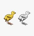 chicken or farm little bird engraved hand drawn vector image