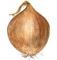 brown onion bulb vector image