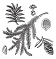 Canadian hemlock vintage engraving vector | Price: 1 Credit (USD $1)