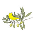 hand drawn yellow wagtail sitting on olive vector image vector image
