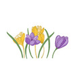 blooming spring crocus flowers isolated on white vector image vector image